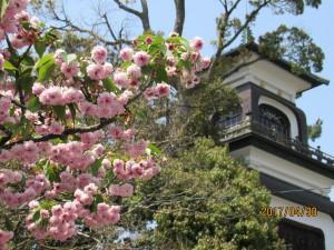 1200×900 尾山神社 菊桜