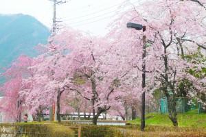 鬼怒川公園 枝垂れ桜